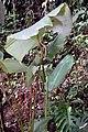 Calathea crotalifera 12zz.jpg