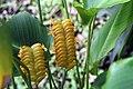 Calathea crotalifera 19zz.jpg
