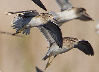 Calidris acuminata group - Hexham Swamp (cropped).jpg