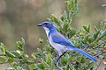 California Scrub Jay, Richmond, Contra Costa, California (30644196597).jpg