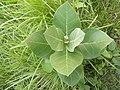 Calotropis Gigantea Plant 01.jpg