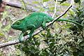 Calumma parsonii, Peyrieras reptile reserve 02.JPG