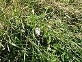 Calystegia sepium roseata R.Br. (AM AK320287-3).jpg