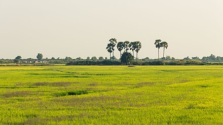 Paddy field in Siem Reap Cambodia's rice fields.jpg