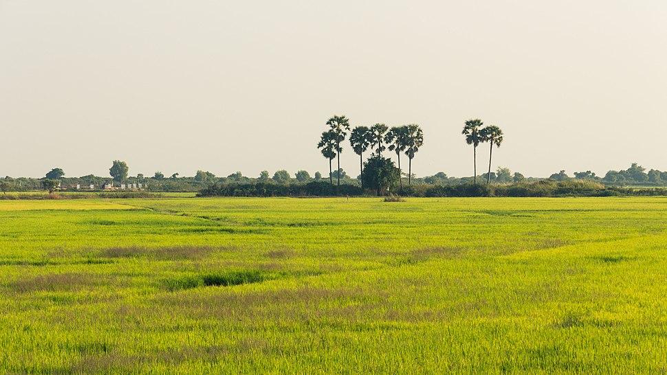 Cambodia's rice fields
