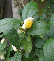 Camellia sinensis Japan
