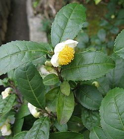 Camellia sinensis is a species of evergreen shrubs or small trees in the flowering plant family Theaceae whose leaves and leaf buds are used to produce tea