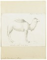 Camelus dromedarius - 1700-1880 - Print - Iconographia Zoologica - Special Collections University of Amsterdam - UBA01 IZ21600049.tif