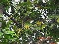 Cananga odorata-2-papanasam-tirunelveli-India.jpg