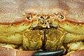 Cancer pagurus - Crabe dormeur - Tourteau - 004.jpg