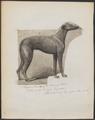 Canis lupus familiaris - 1864 - Print - Iconographia Zoologica - Special Collections University of Amsterdam - UBA01 IZ22300218.tif