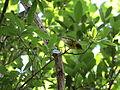 Cape May Warbler (17327259985).jpg