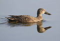 Cape Shoveler, Anas smithii at Marievale Nature Reserve, Gauteng, South Africa (9700128891).jpg