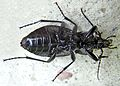 Carabus nemoralis female under.jpg