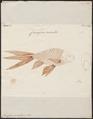 Carassius auratus - 1774-1804 - Print - Iconographia Zoologica - Special Collections University of Amsterdam - UBA01 IZ15000056.tif