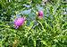 Carduus crispus 2009 G2.jpg