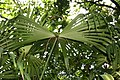 Carludovica palmata 20zz.jpg