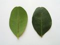 Carob tree leaf.JPG