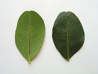 Ceratonia siliqua - A leaflet of the leaf of the carob tree