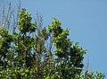 Carpinus betulus 'fastigiata' (upright European hornbeam) 4 (49080665933).jpg