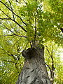 Carpinus betulus (8).JPG
