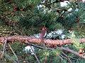 Carpodacus erythrinus, male, Rīga, Latvia 01.jpg
