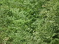 Carrot plant from lalbagh 2327.JPG