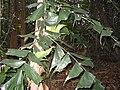 Caryota mitis feuilles.jpg