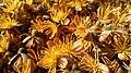 Caryota urens Male Flowers.jpg