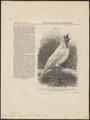 Casmarhynchus nudicollis - 1866 - Print - Iconographia Zoologica - Special Collections University of Amsterdam - UBA01 IZ16600161.tif