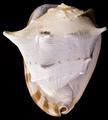 Cassis cornuta2.png