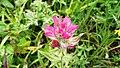 Castilleja parviflora oreopola (7993267741).jpg