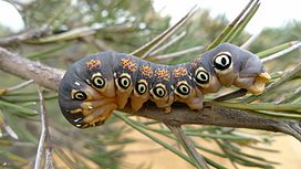 Caterpillar of a Dryandra Moth.jpg