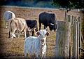 Cattle1a (8306354848).jpg