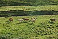 Cattle in Redesdale - geograph.org.uk - 932838.jpg