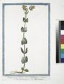 Centaurium luteum, minus, perfoliatum - Picciola Centaurea - Petite Centaurie. (Ground-pine) (NYPL b14444147-1125028).tiff