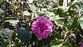 Centifolia mucosa 02.jpg
