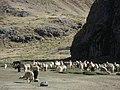Centro experimental de Camelidos sudamericanos-Lachocc-ZOOTECNIA-UNH - panoramio.jpg