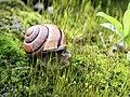 Cepaea nemoralis on moss 2.jpg