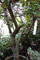 Ceratonia siliqua - Botanischer Garten, Dresden, Germany - DSC08466.JPG