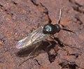 Ceratopogonidae P1320905a.jpg