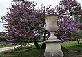 Cercis siliquastrum L. in Paris Jardin des Tuileries, may 2016 (02).jpg