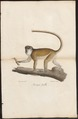Cercopithecus petaurista - 1700-1880 - Print - Iconographia Zoologica - Special Collections University of Amsterdam - UBA01 IZ19900115.tif