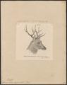 Cervus schomburgki - 1879 - Print - Iconographia Zoologica - Special Collections University of Amsterdam - UBA01 IZ21500124.tif
