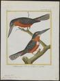 Ceryle inda - 1700-1880 - Print - Iconographia Zoologica - Special Collections University of Amsterdam - UBA01 IZ16800279.tif