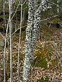 Cetrelia chicitae - Flickr - pellaea (1).jpg