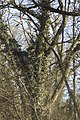 Chêne rouvre et Lierre (Quercus rober et Hedera hélix).jpg