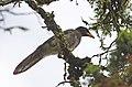 Chara Papán, Brown Jay, Cyanocorax morio (9548386324).jpg