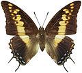 Charaxes castor femelle dorsal.jpg