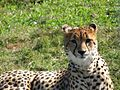 Cheetah (11341963523).jpg